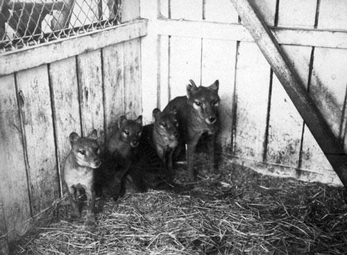Famiglia di tilacini in cattività