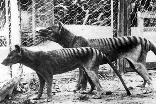 Coppia di tilacini in cattività