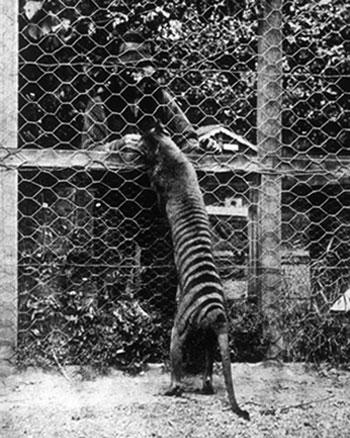 Tilacino in cattività